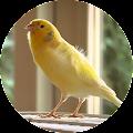 Master Kicau Burung Kenari