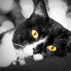Blacky by Ridz Abdullah - Animals - Cats Portraits ( cats, animals, black and white, cute cat, black cat )