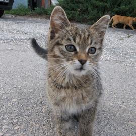 Коте by Georgi Kolev - Animals - Cats Kittens ( коли., котки., слънце., път., ден. )