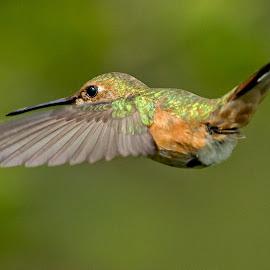 Rufous Hummingbird by Sheldon Bilsker - Animals Birds ( hummingbird )