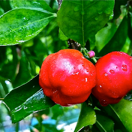 { Cherry's hanging from our tree after the rain }  by Jeffrey Lee - Nature Up Close Gardens & Produce ( { cherry's hanging from our tree after the rain } )