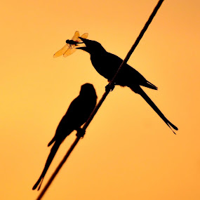 Black Drongo's Dragonfly Catch  by Vasanth Photographer - Animals Birds ( vasanth photography, sunset, silhouette, vasanth photographer, brid, photography,  )