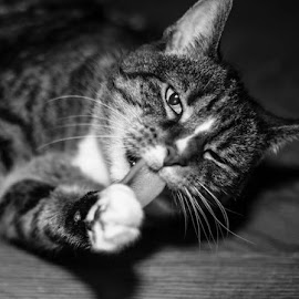 Excuse me... by Bonnie Crossley - Animals - Cats Portraits ( cat, black and white, pets, photography, portrait )