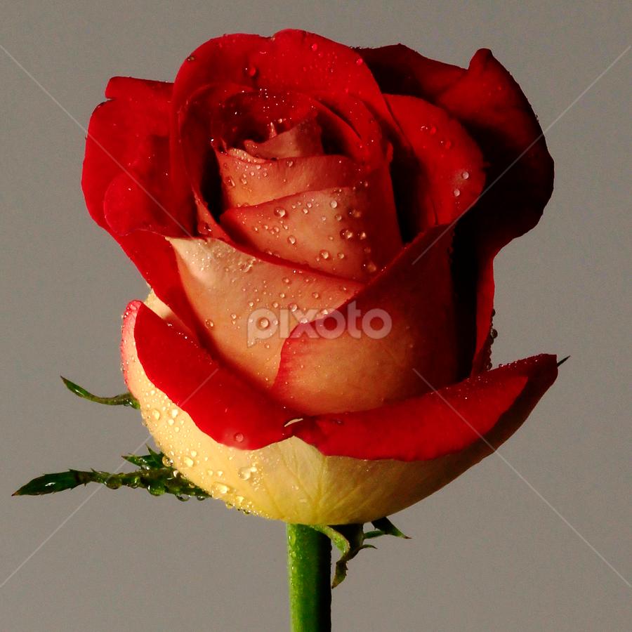 Red Rose by Cristobal Garciaferro Rubio - Nature Up Close Flowers - 2011-2013 ( red, drop, drops, red rose, flowers, flower )