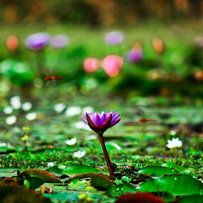 Bangladesher Roop [Beauty of Bangladesh] by Mohammad Islam - Nature Up Close Flowers - 2011-2013 ( water, saif, shapla, color, green, camera, beauty, water lily, flowers, nikon, photography )