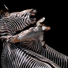 Grevy's by Heather Allen - Animals Other Mammals