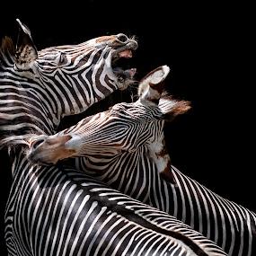 Grevy's by Heather Allen - Animals Other Mammals (  )