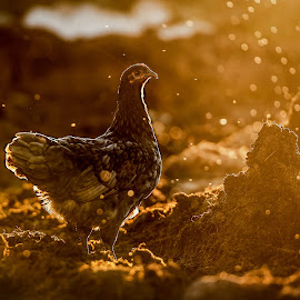 In her empire by Andrija Vrcan - Animals Other ( hen )