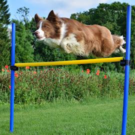 Lep slog by Bojan Kolman - Animals - Dogs Running