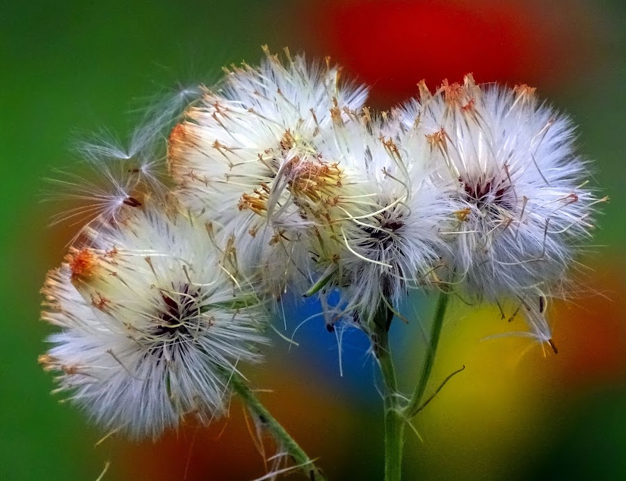 White  by Asif Bora - Flowers Flowers in the Wild (  )