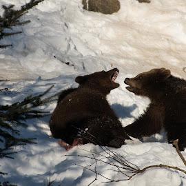 by Dušan Gajšek - Animals Other ( medved, živali, bavarski gozd, narava )