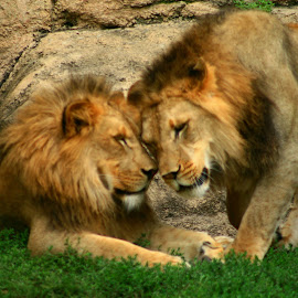 Head to Head by Nancy Tonkin - Animals Lions, Tigers & Big Cats ( big cats, zoo, racine, lions )