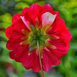 Red Candy by Marco Bertamé - Flowers Single Flower ( red, dahlia )