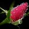 P1070378-RoseBud.jpg