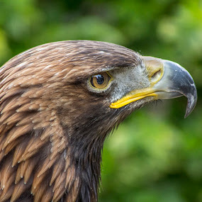 Golden eagle (Aquila chrysaetos) by Ian Flear - Animals Birds