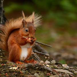 Red Squirrel by Lesley Hudspith - Animals Other ( peanut, red, tree, dof, squirrel )