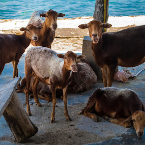 Cabras en la costa by Gato Perro Tronchatoro Krois - Novices Only Wildlife ( goats, goatling, cabras, isla, island )