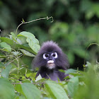 Spectacled Leaf Monkey