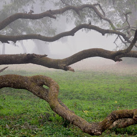 Lateral branches by Ashwini Attri - Landscapes Forests ( environment, grass, fog, weather, forest, lateral branches )