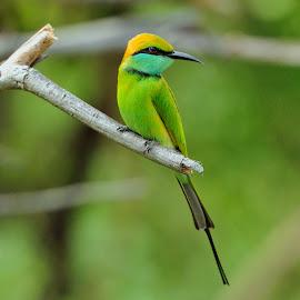 Bee- eater by Tomasz Budziak - Animals Birds ( animals, asia, birds )