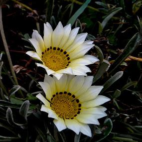 African Daisies by Ashwathi Madhavan - Flowers Flower Gardens ( flowers, african daisy, white flower, nature up close, gazania )