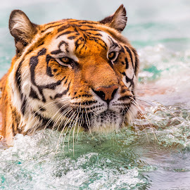Tiger Wading by Dave Lipchen - Animals Lions, Tigers & Big Cats ( water, wading, tiger )