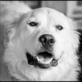 Sophie by Dave Lipchen - Black & White Animals ( great pyrenees )