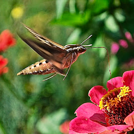 Hummingbird Hawk Moth by Doug Wean - Animals Insects & Spiders ( butterfly, zinnia, nature, flower nature, nature up close, moth, flower )