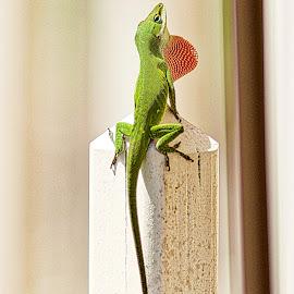 Lizard by Jim Antonicello - Animals Reptiles ( lizard, yard, spring, salamender )