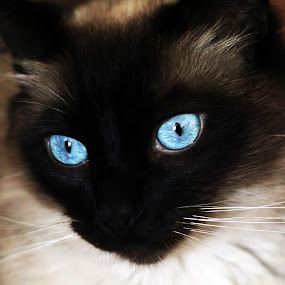 Blue Eyes by Renee East - Animals - Cats Portraits ( siamese kitten cat kitty )