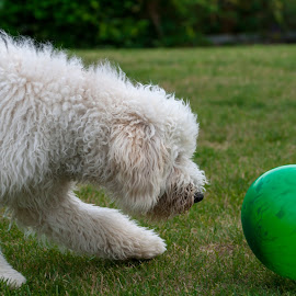 Dog Versus Balloon by Lizzy MacGregor Crongeyer - Animals - Dogs Puppies ( canine, playing, grass, golden doodle, best friend, balloon, dog, uncertainty, garden fun )