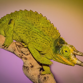 On top of the World by Myra Brizendine Wilson - Animals Reptiles ( jackson's chameleon, reptile, chameleon, animal )