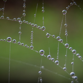 dropley web by Sheena True - Nature Up Close Webs ( www.simplytrueimages.com )