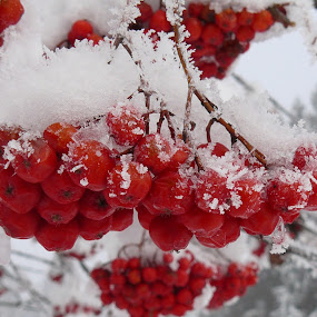 by Helen Choupliak - Nature Up Close Trees & Bushes ( red, white, pwc87, snow, winter, cold )