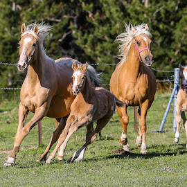 Palomino Mares and Foals by Glenys Lilley - Animals Horses ( gallop, mares, palomino, foals, canter, beauty, free spirit )