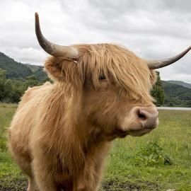 Hebridean cow by Pietro Ebner - Animals Other Mammals ( hairy, highland, breed, scotland, cow, highlander )