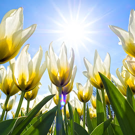 Tulips in the Sun by Henry Jager - Flowers Flower Gardens ( breed, gift, warm, tulip mania, yellow, tulips, forgiveness, spring, light bright, sun, photography, love, liliales, nature, endless, sunrays, perfect, worth, flower, agricutlure, tulipa, liliaceae, decoration, memorials, green, white, traditional, rays, selection, field, present, tulip, funeral,  )