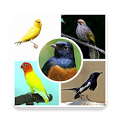 Download  Kicau Burung Master  Apk