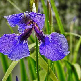 Iris In The Rain by Patricia Phillips - Flowers Single Flower ( alaska wild iris purple rain )