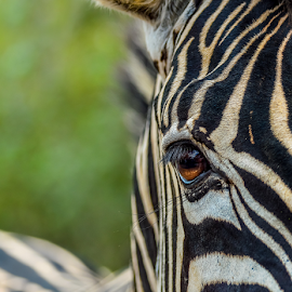 Zebra Wild eye by Mauritz Janeke - Animals Other Mammals ( mammals, beauty of nature, animals, wildlife photography, nature, zebra eye, zebra, close up, mammal )