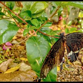 Butterfly by Ankit Nashikkar - Novices Only Wildlife ( mia1, #butteryfly )