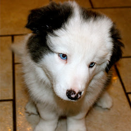 Blue. by Peter DiMarco - Animals - Dogs Puppies ( doggie, blue, puppy, dog, animal )