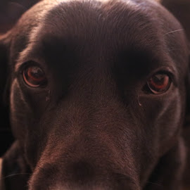 Looking for by Meeta Thakur - Animals - Dogs Portraits ( pet, labrador, photography, posture )