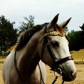 Princess Poppy by Dannie Armstrong - Animals Horses ( warmblood, horse )