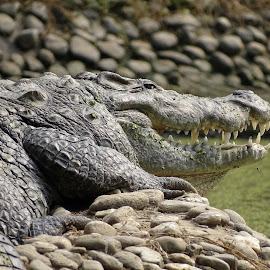 Mugger Crocodile by Soumyadeep Datta - Animals Reptiles ( calm, look, laugh, scales, crocodile, stones, reptile, teeth )