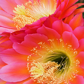 Pink Cactus Blossoms by Dale Kesel - Flowers Flower Gardens ( floral photography, photograph, desert, gardens, beauty in nature, yellow, blossoms, macro, lighting, arizona, dramatic, pink, flowers, cactus )
