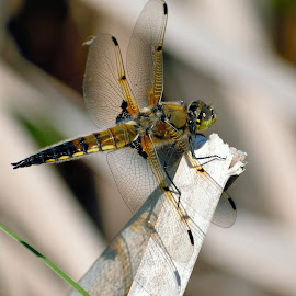 Dragonfly by Matthew Goldsworthy - Animals Insects & Spiders ( macro, nature, bug, insect, dragonfly )