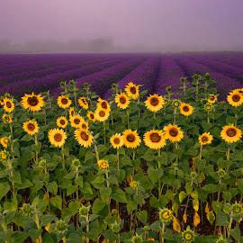 majestic by Jurij Dolenc - Landscapes Travel ( natural light, majestic, lavender, landscape, sunflower, national geographic, fog,  )