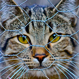 by Louis Costabel - Animals - Cats Portraits