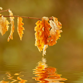 chestnut leaf reflected in water by Vincenzo Bernardi - Nature Up Close Leaves & Grasses ( reflection, botany, bright, plants, yellow, leaves, chestnut, macro, tree, nature, fresh, autumn, foliage, light, branches, closeup, water, abstract, orange, lush, lake, organic, environment, red, color, background, fall, outdoors, river, growth, colorful,  )